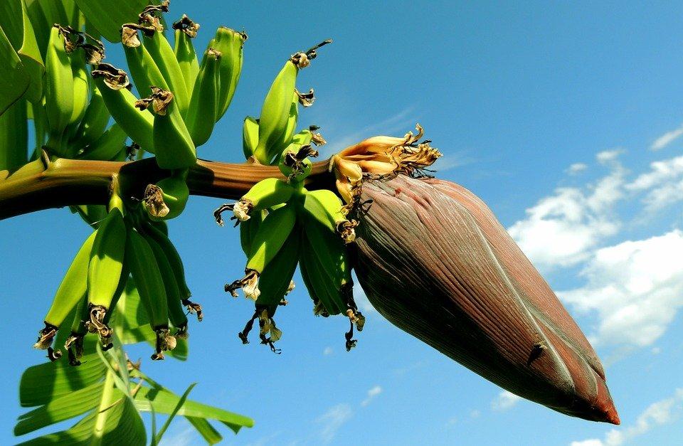 Mata de plátano.   Imagen tomada de: Pixabay