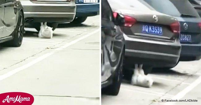 La chatte est devenue populaire après qu'une vidéo a frappé le Web, où il fait ses abdos près de la voiture