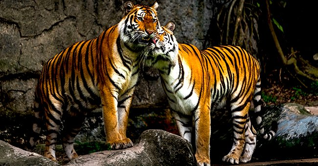 An image of two tigers playing in the wild | Photo: Shutterstock
