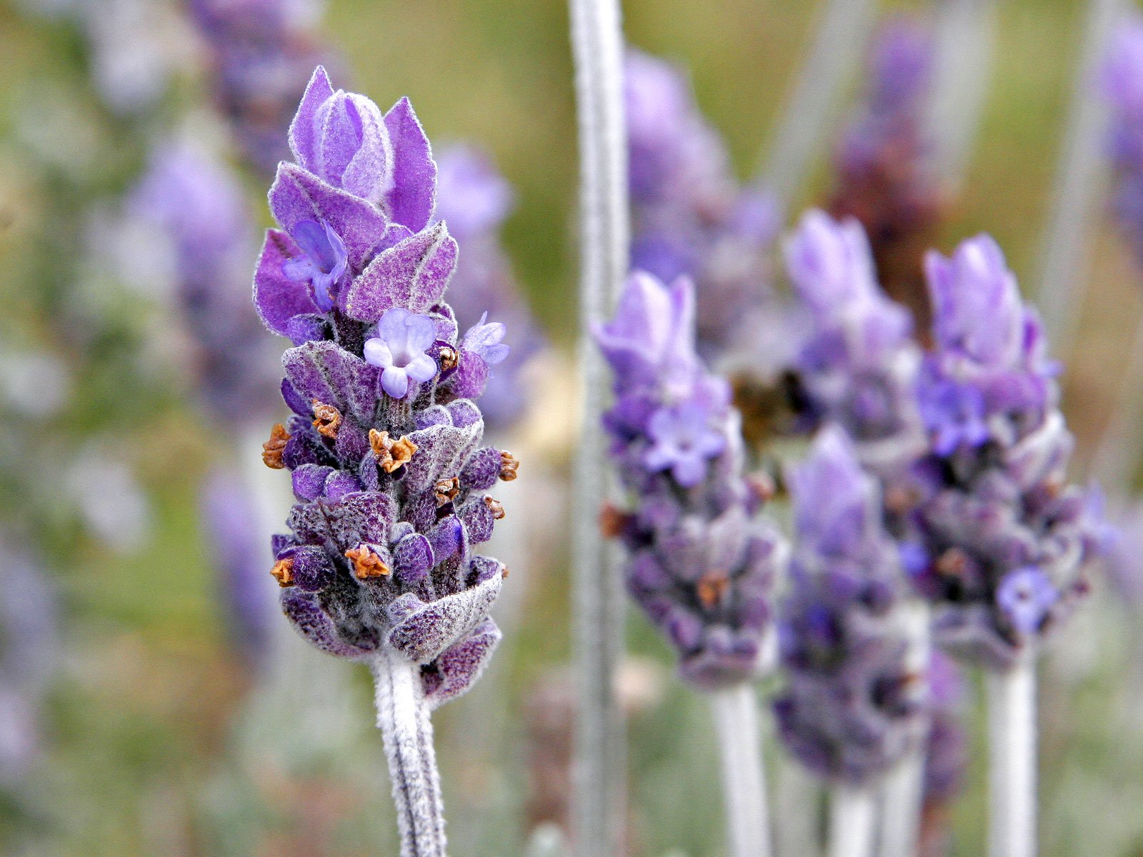 Single lavender flower | Photo: Wikimedia Commons