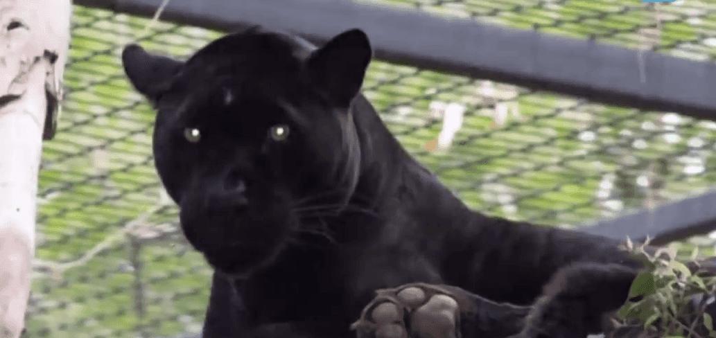 Le jaguar qui a attaqué la femme. Source : YouTube / AUJOURD'HUI
