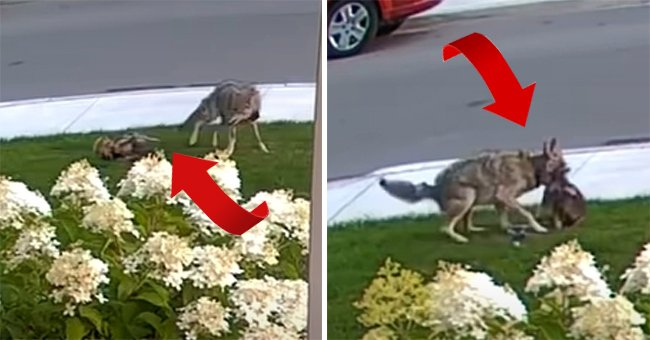 A Yorkie and Coyote fighting. | Source: youtube.com/Your Morning