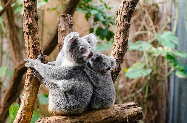 A female adult koala and her cub on top of a tree branch while in captivity. I Image: Pixabay.