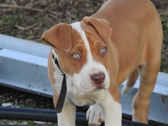 Perro pitbull. Fuente: Pixabay