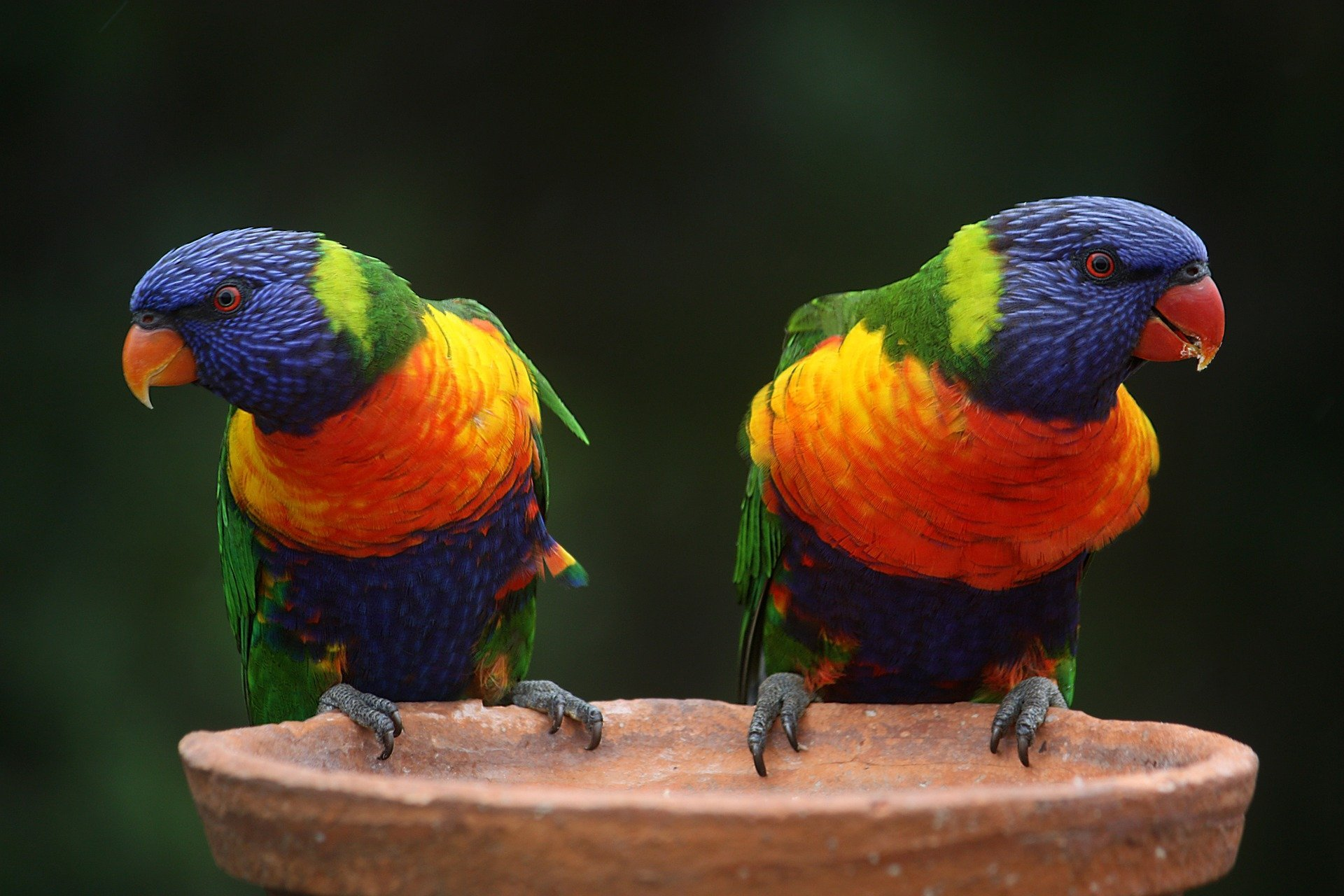 Rainbow Lorikeets on a perch. | Source: Magee/Pixabay