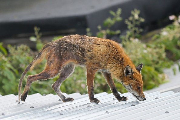 An urban fox is seen on a garden shed in north London | Photo: Getty Images