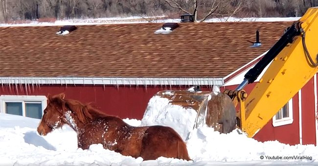 Horse Rescue: Rancher Uses Backhoe to Dig out a Horse Buried after a Massive Blizzard
