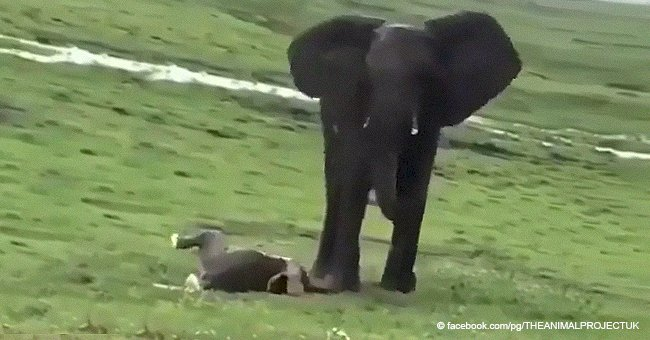Elephant mother gives birth and herd welcomes the baby