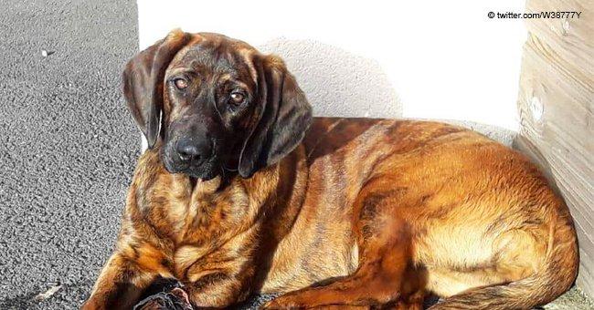 Onnie, la chienne d'un pompier a disparu le 17 février à Vannes : les pompiers appellent à la solidarité