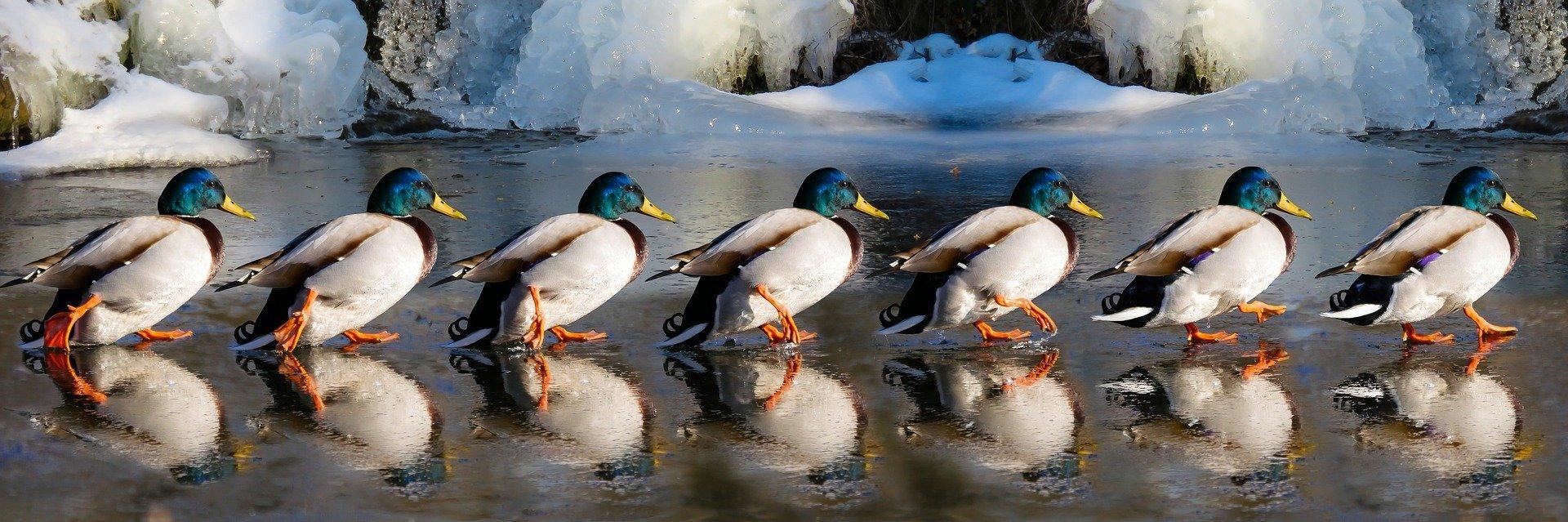 Fila de patos. Fuente: Pixabay