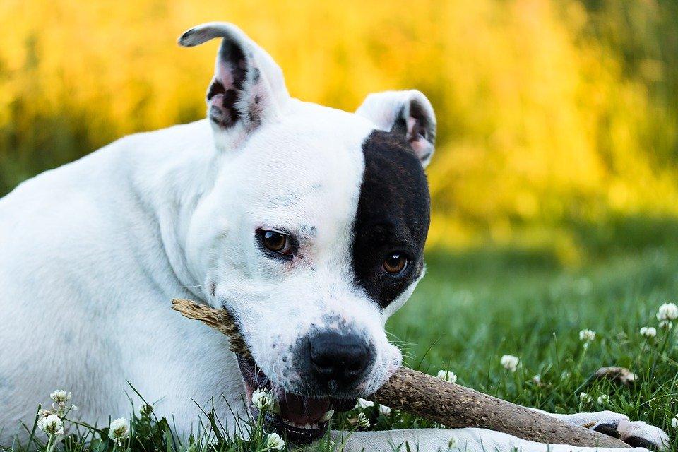 Perro jugando con una palo de madera en el cesped | Foto: Pixabay