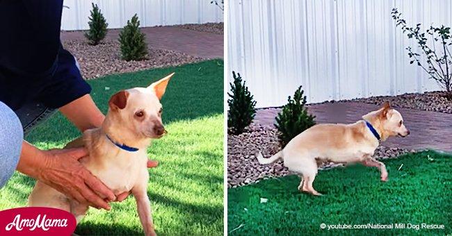 Un chien à trois pattes a enfin le goût de la liberté, habitué à subir de terribles traitements