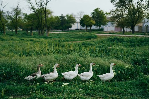 Ducks walking in grass | Photo: Getty Images