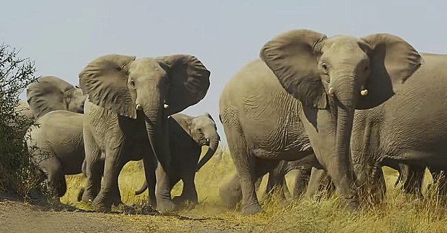Herd of Elephants Cause Damage by Traveling over 311 Miles to Escape from a Nature Reserve in China