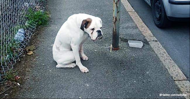 """Boxer sieht """"traurig und verängstigt"""" aus, nachdem er an Laternenpfahl ausgesetzt wurde"""