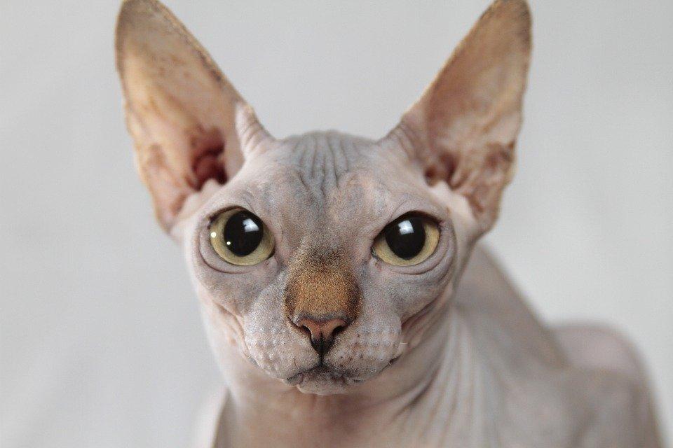 Gato esfinge.   Imagen tomada de: Pixabay