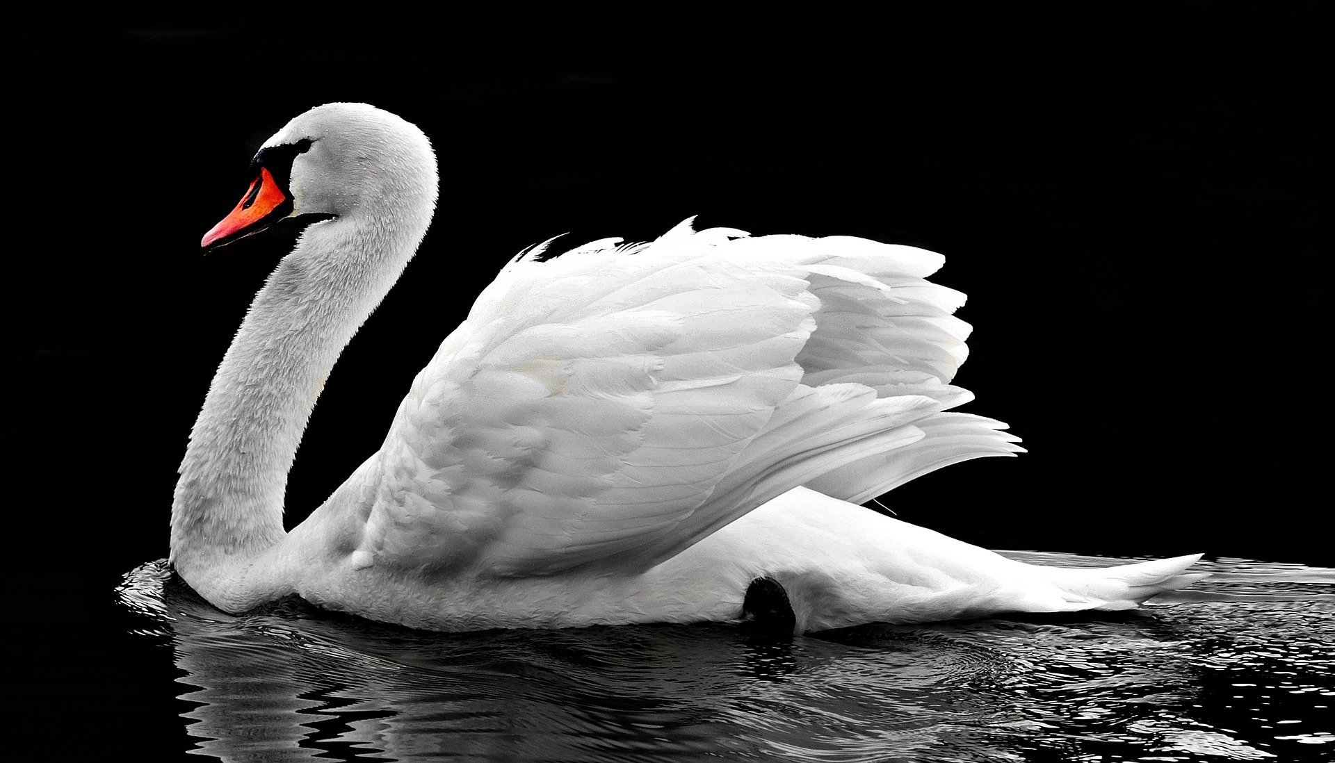 A swan swimming on a sunny day. | Source: Pixabay.com