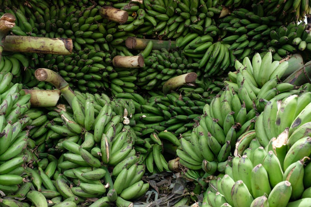 Des bananes non mûres | photo : Getty Images