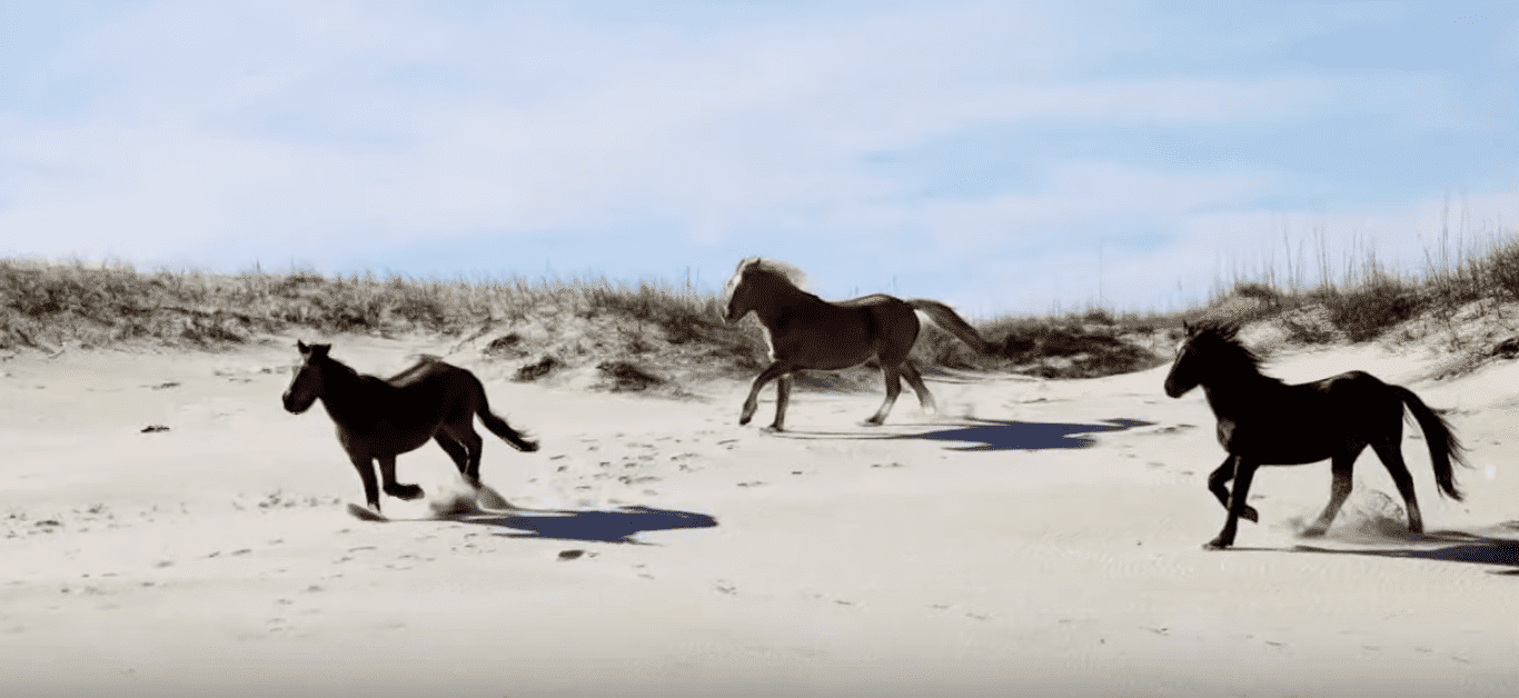 The wild horses of Corolla. | Source: YouTube/13NewsNow