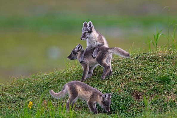 Three Arctic fox cubs at den on the tundra in summer. | Photo: Getty Images