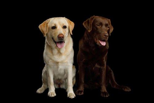 Deux labradors | sources : Shutterstock