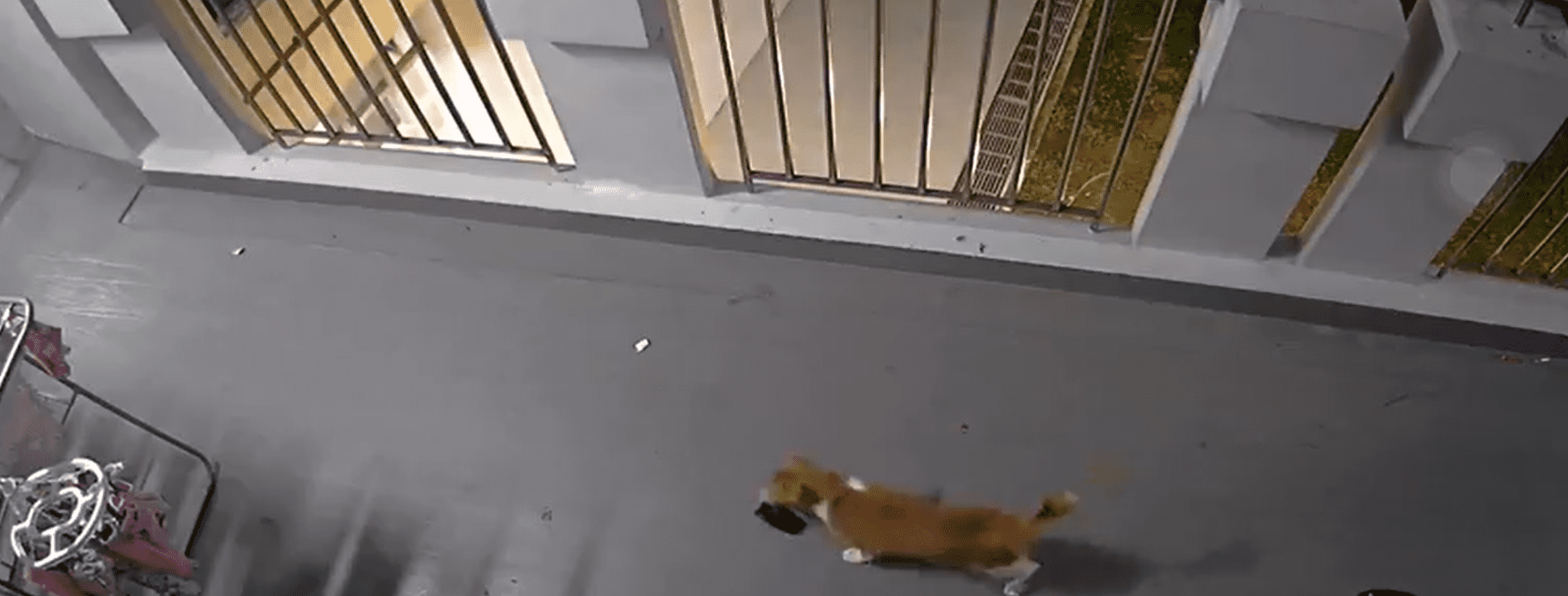 A cat walking through a corridor with a slipper in its mouth. │Source: twitter.com/amyramrn