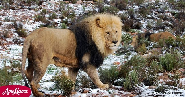 Incredibly rare photos show lion, giraffe, and elephant caught in the snow in South Africa