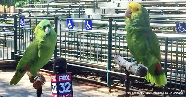 2 parrots steal the show by singing during a hilarious interview