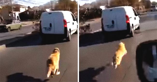 Le chien désespéré court après ses propriétaires après avoir été abandonné