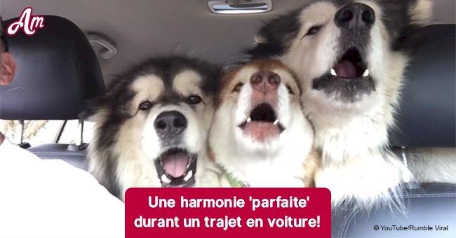Des Malamutes d'Alaska ont crée un incroyable trio durant un voyage en voiture