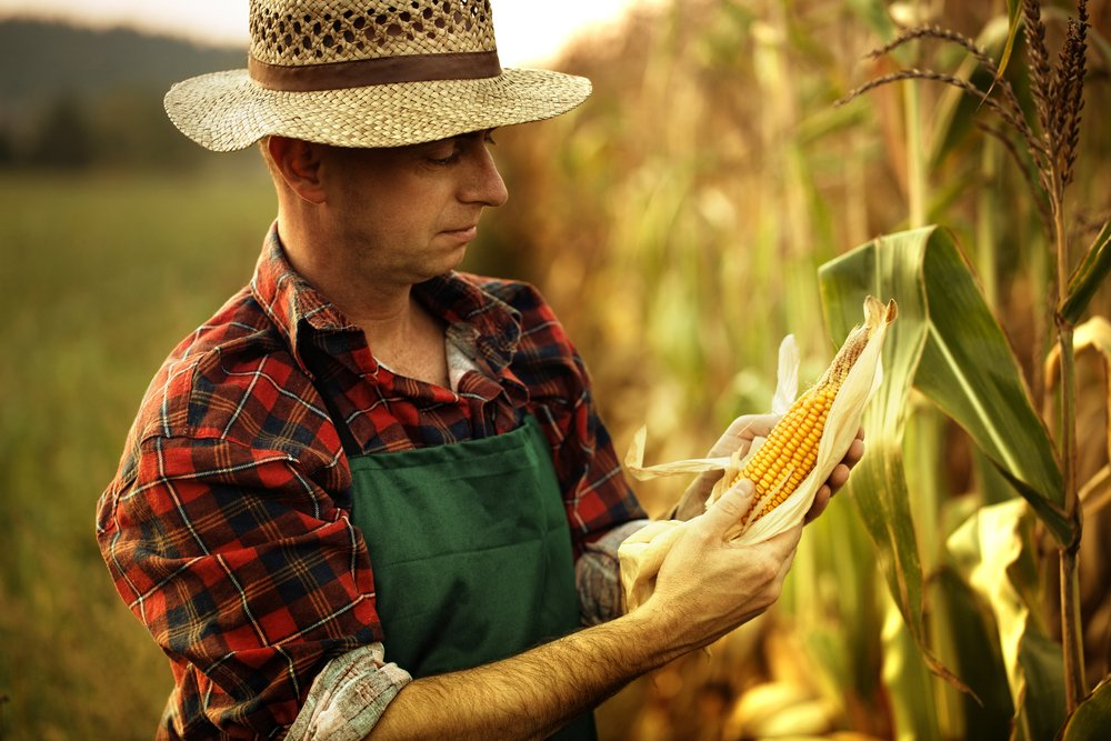 A photo of a corn farmer inspecting the produce | Photo: Shutterstock