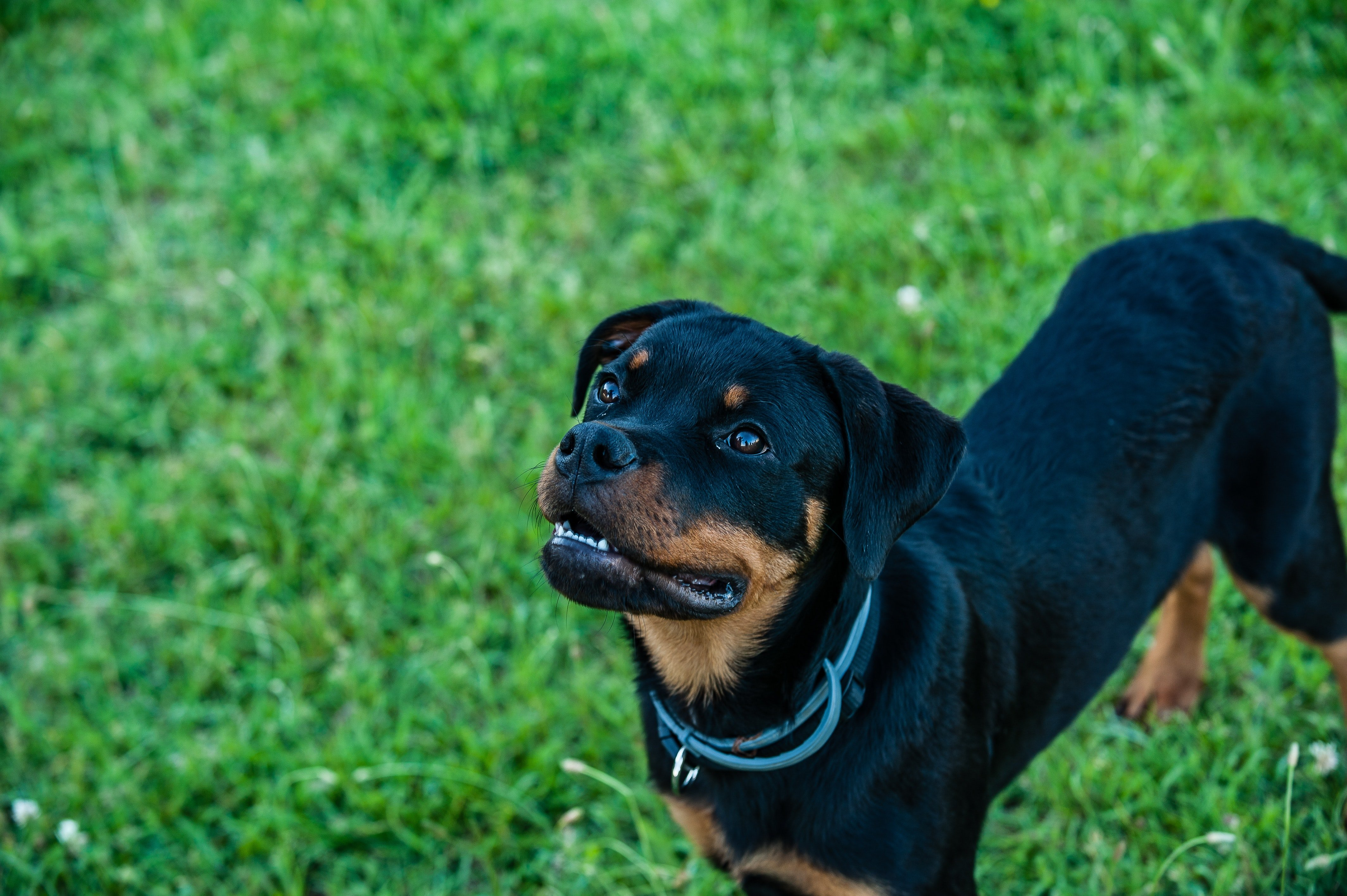 Pictured - An image of an attentive Rottweiler on green grass meadow | Source: Pexels