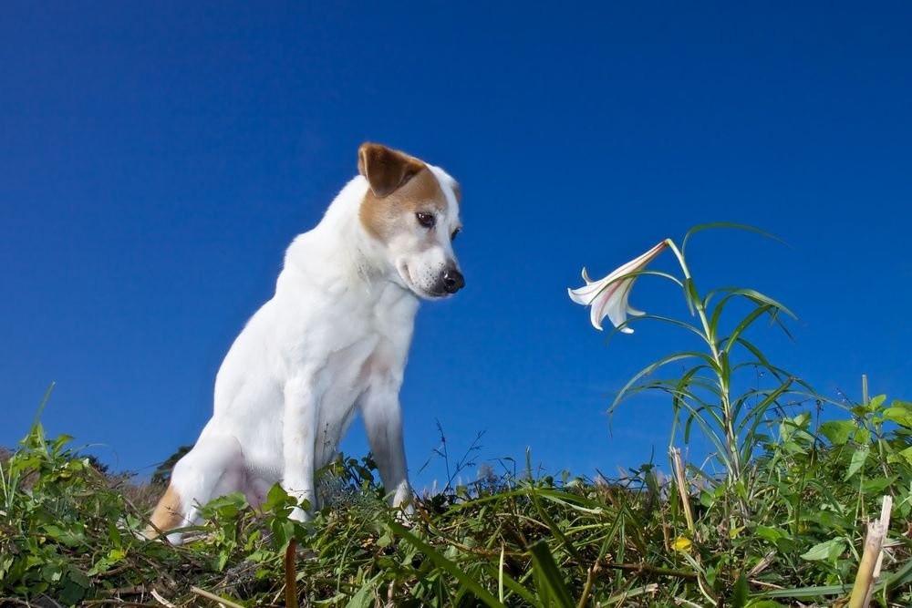 Jack Russel looking at a flower. | Source: Shutterstock