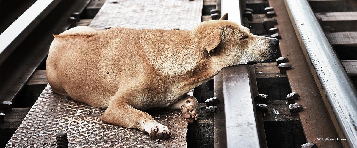 Un chien refuse de laisser le corps de son maître, frappé par un train : les photos de la tragédie ont touché le net
