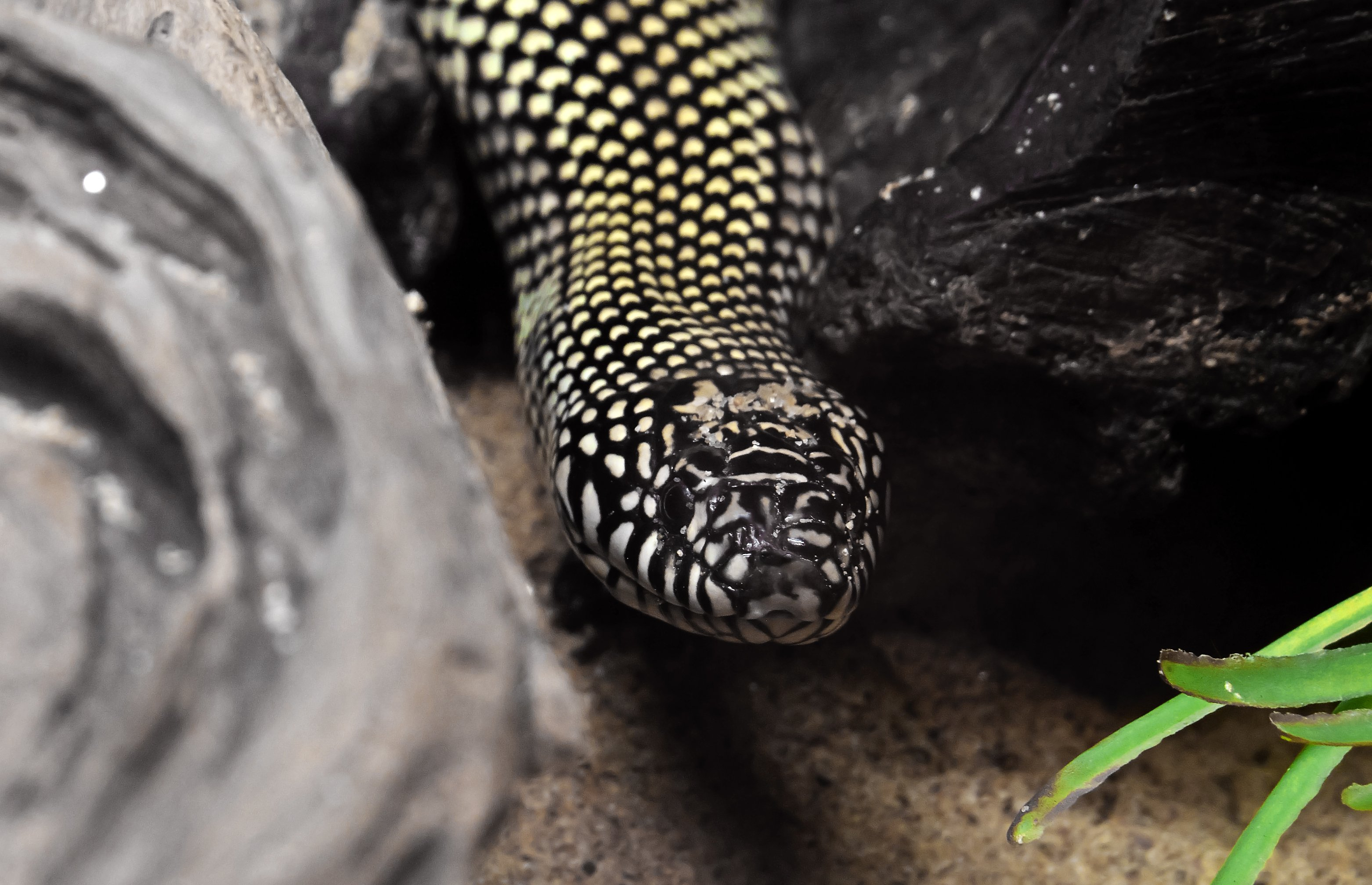 Close-up of a Desert Kingsnake in a nature-like environment   Photo: Shutterstock