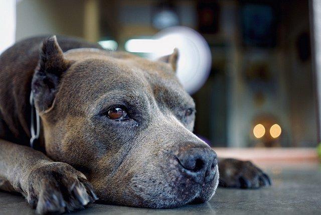Un pitbull. l Source: Flickr