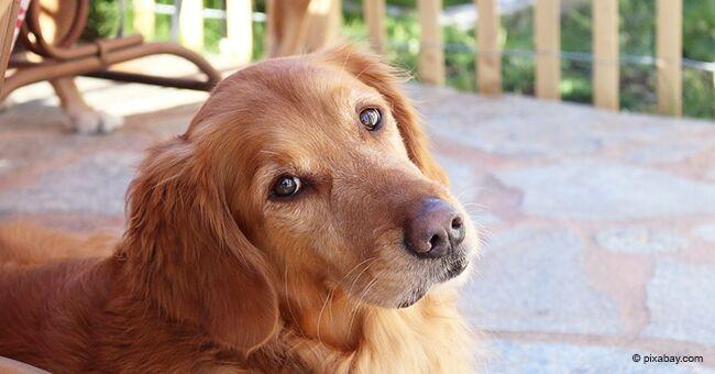 La propriétaire achète un chariot pour sa vieille chienne qui ne peut pas marcher, afin qu'elle puisse encore se promener