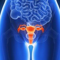 Representación del útero. | Foto: Wikimedia Commons