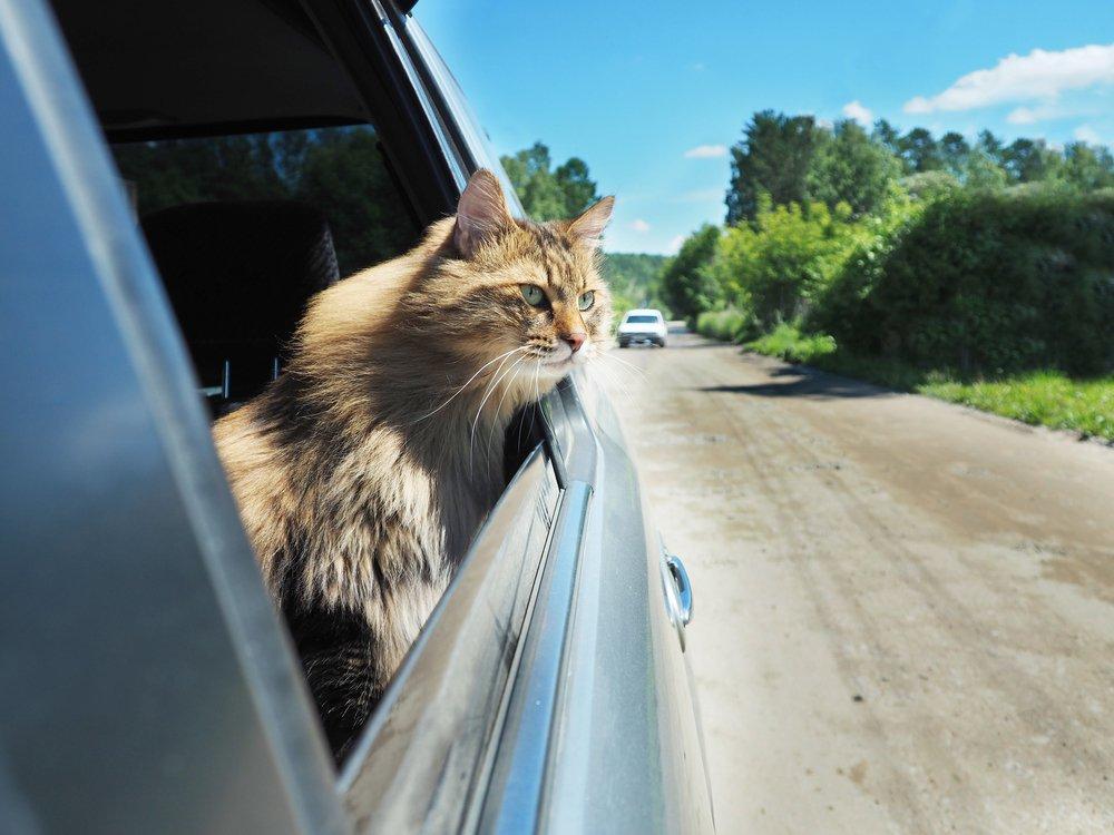Un chat qui voyage en voiture avec la tête hors de la fenêtre de la voiture. | Shutterstock