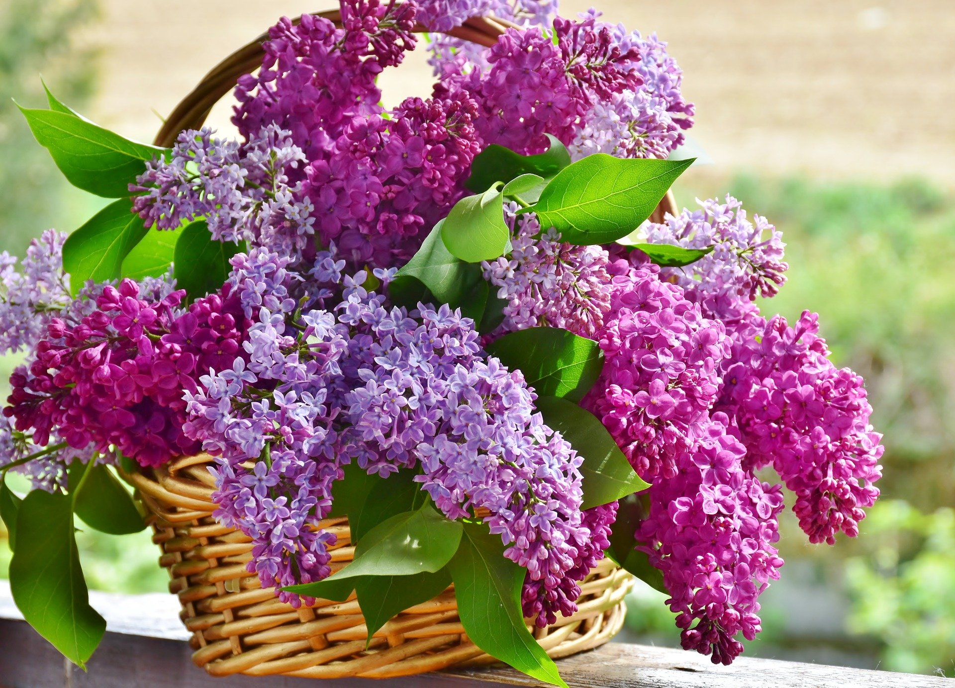 A basket filled with lilac blooms in two shades | Photo: Pixabay/RitaE