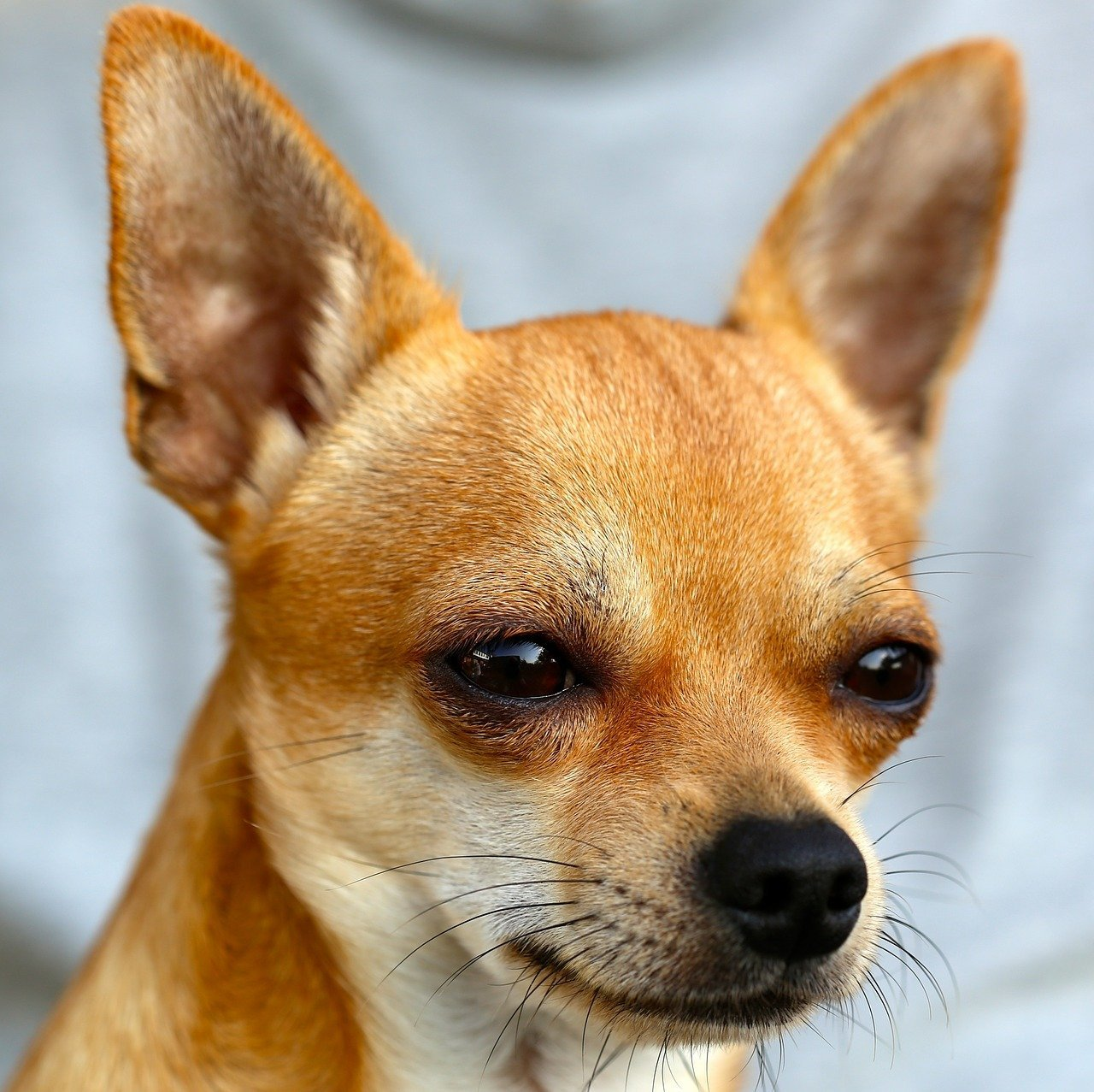 A close-up of a Chihuahua with its ears standing and a suspicious look on its face | Photo: Pixabay/a-mblomma
