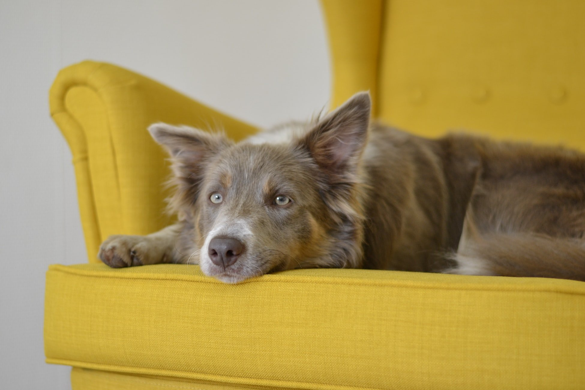 A portrait of a dog lying on a yellow couch | Photo: Unsplash