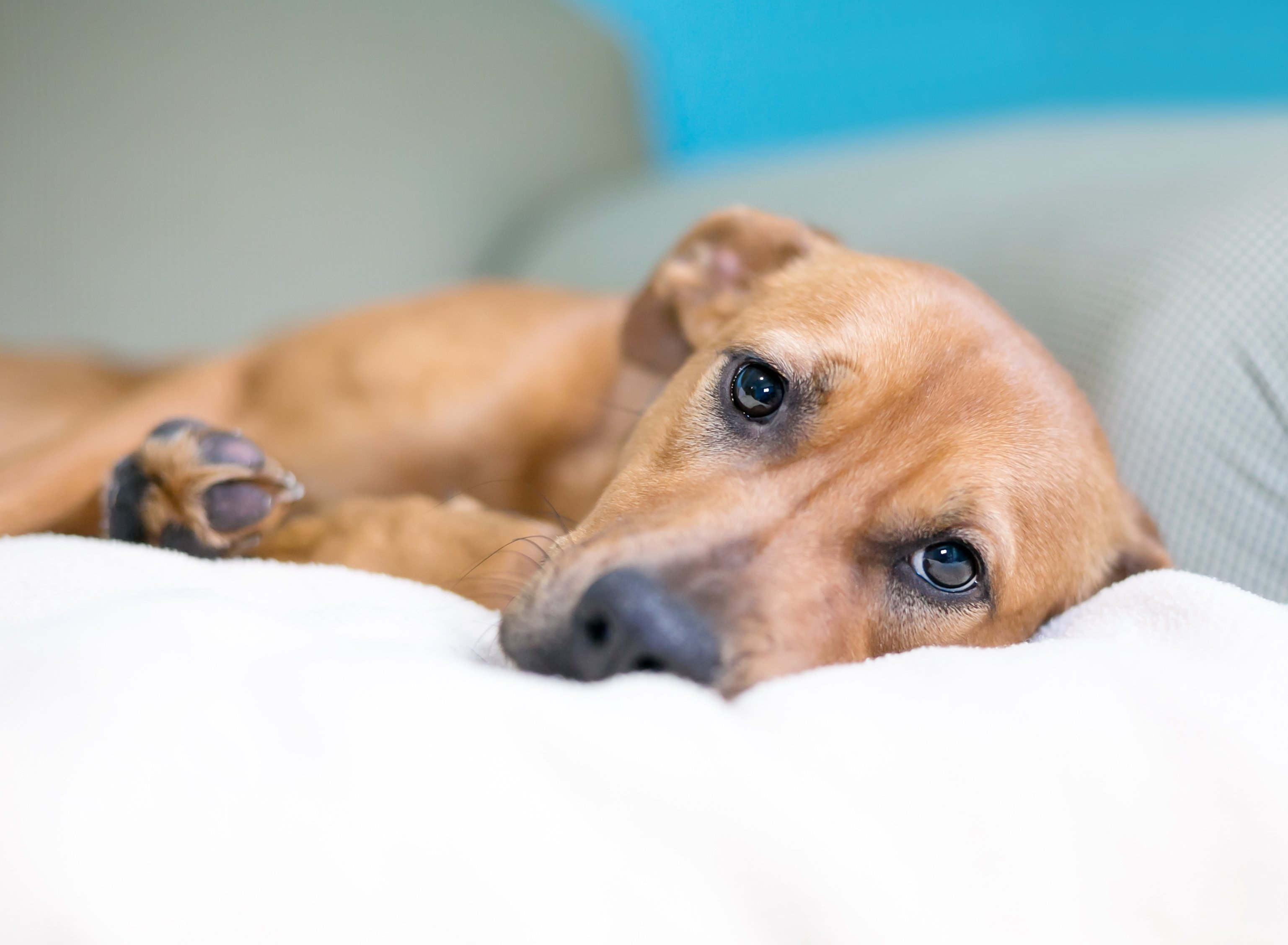 A dog with a sad expression lying on a couch   Photo: Shutterstock/Mary Swift