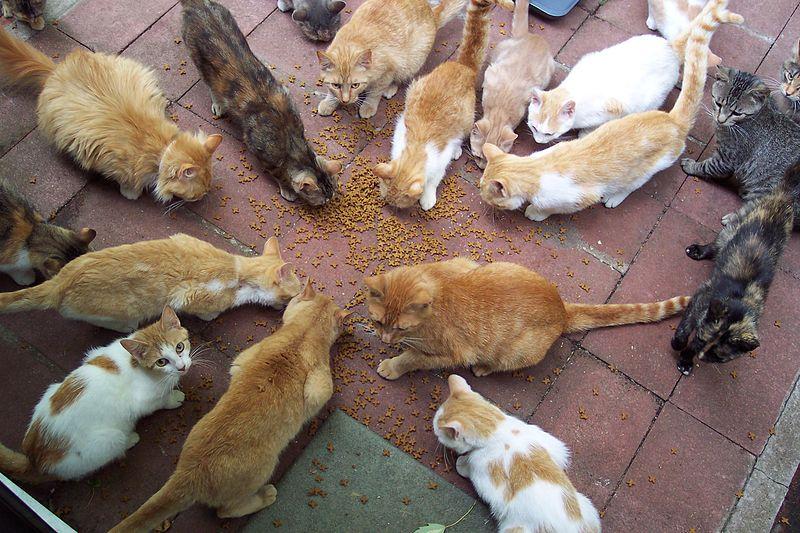Grupo de gatos alimentándose en círculo. | Imagen: Wikimedia Commons