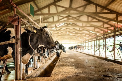 Dairy cows on a farm. | Source: Shutterstock.