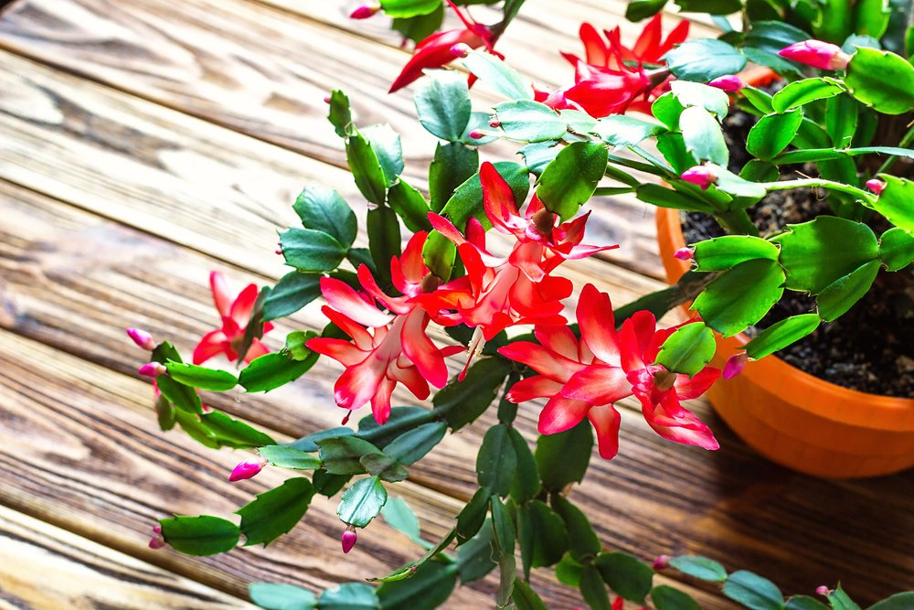 An upclose photo of Christmas Cactus flower in a pot.   Photo: Shutterstock.