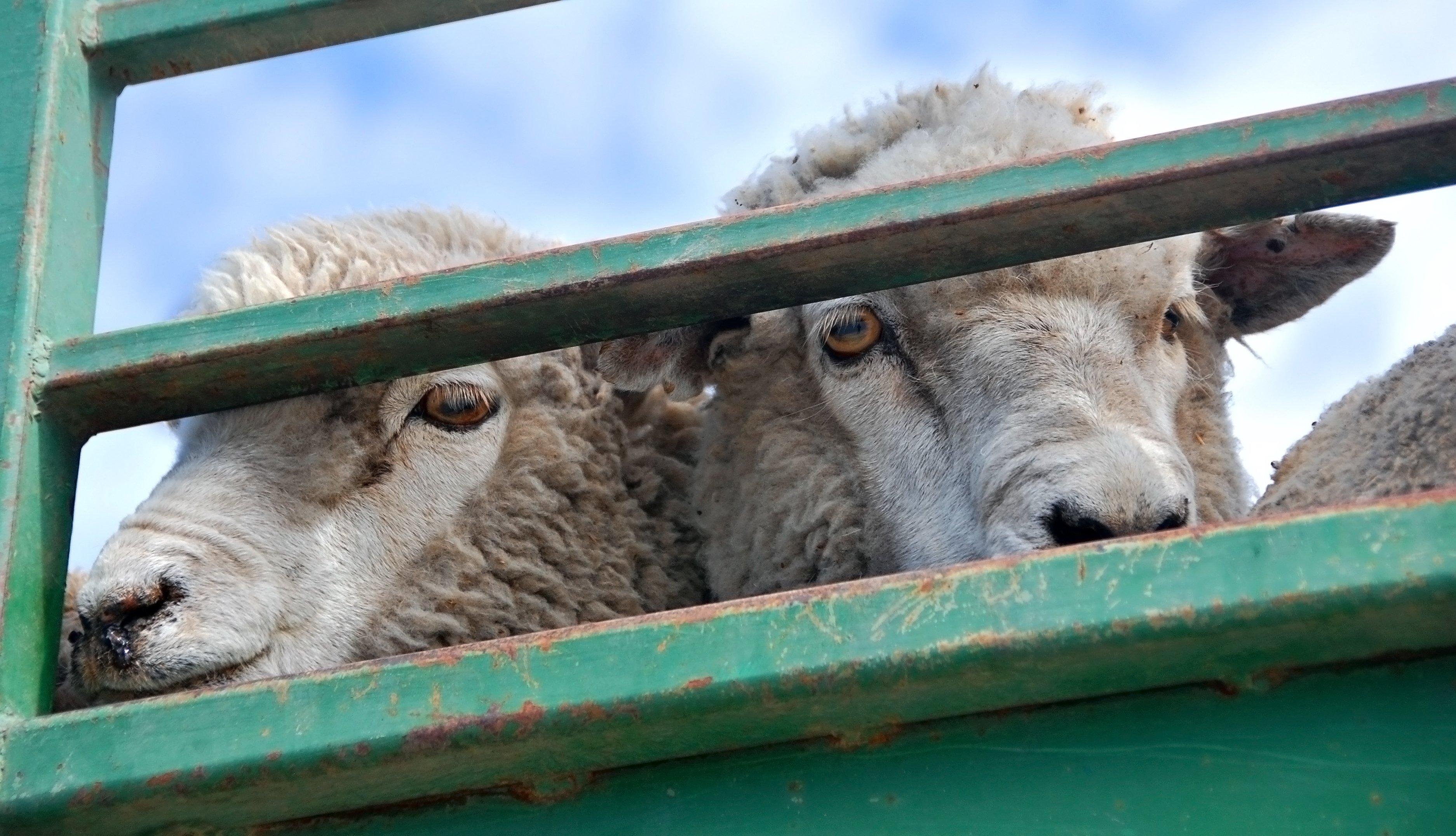 Ovejas dentro de un camión. Fuente: Shutterstock