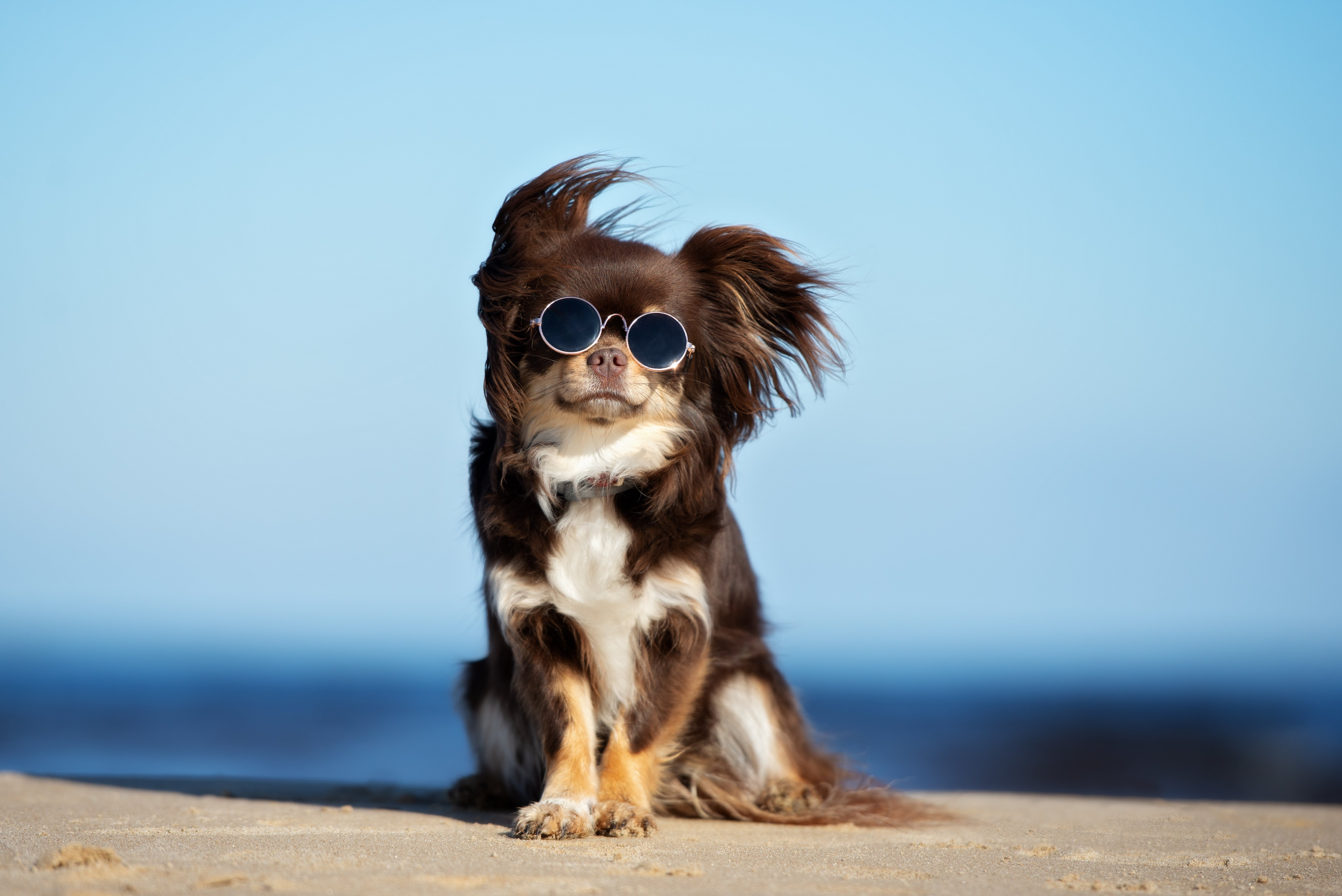 Funny Chihuahua dog posing on a beach in sunglasses | Photo: Shutterstock