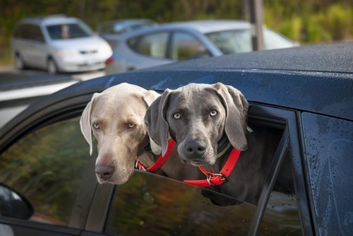 Deux chiens weimaraner dans une voiture | source :Shutterstock