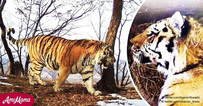 Un tigre très rare trouve des humains pour leur demander de l'aide après avoir été blessé